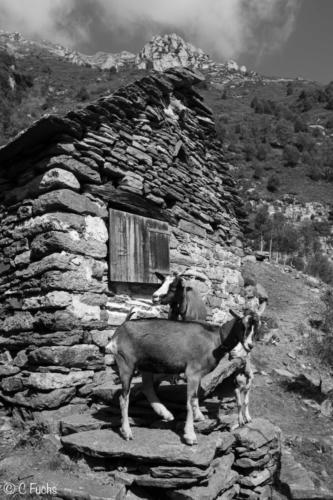 Mazot et chèvres