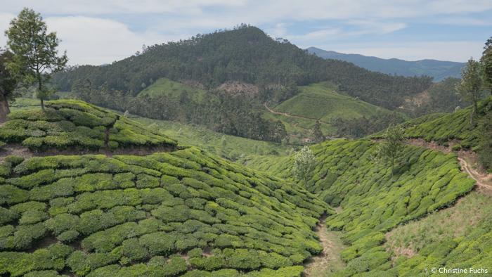Plantations de thé dans les Ghâts occidentaux